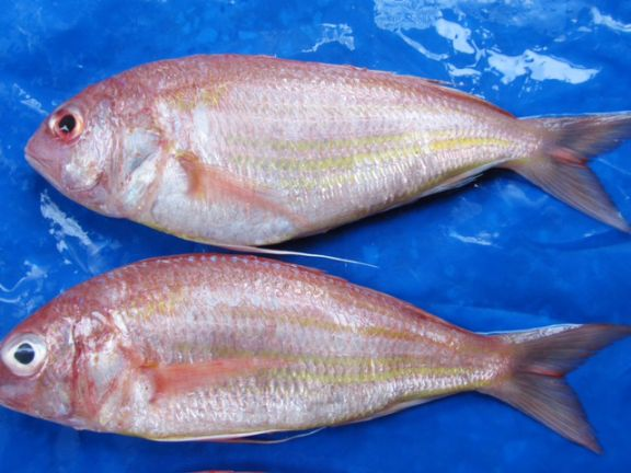 india gold fish leather ltd Siam canadian (india) limited supplying a wide range of shrimp, fish, cephalopods and value added seafood products from india including black tiger, vannamei, freshwater and sea-caught shrimp, squid, cuttlefish, ribbon fish, indian mackerel, reef cod and many more.
